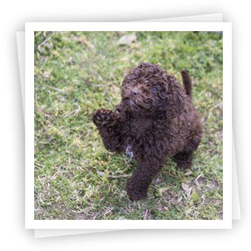 Waratah-Park-Puppies-LR-14
