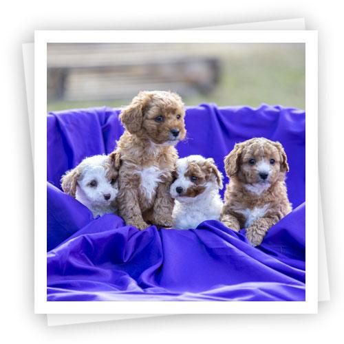 Waratah-Park-Puppies-LR-4