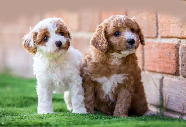 Waratah-Park-Puppies-LR-9