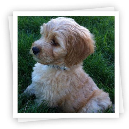 Waratah-Puppies-4