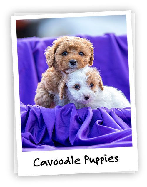Waratah Puppies - Cavoodles and Shoodles - Bred for cuddles