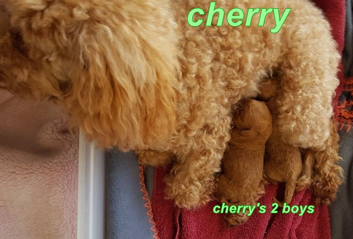 toy Cavoodles for sale